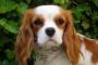 Inflamación del corazón (miocarditis) en perros