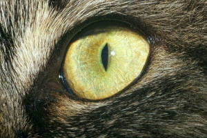 Degeneración de la Córnea en Gatos