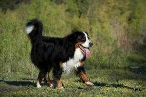 Insuficiencia renal y exceso de urea en la orina en perros