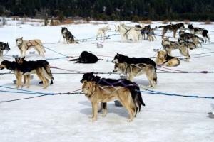 Escándalo  de perros en nieve