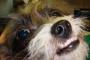 Desalineación de los dientes en los perros