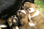 ¿Cuánto tiempo permanecen las perras embarazadas? (Lo que necesitas saber)