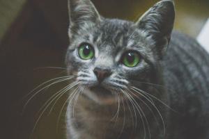 Hemotórax en gatos