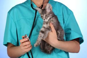 Infección bacteriana (campilobacteriosis) en gatos