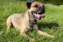 Edema pulmonar (líquido en los pulmones) en perros: síntomas, causas y tratamientos.