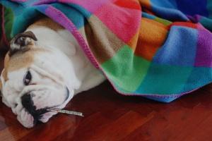 Gripe canina (Influenza canina): síntomas, causas y tratamientos.