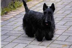 Calambres musculares en los terriers escoceses