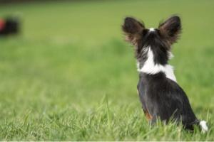 3 cosas que debes saber sobre las orejas de tu perro