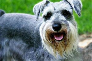 Testículos de pequeño tamaño en perros