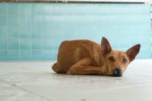 Vómito crónico en perros