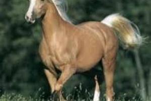Coital Exantema en caballos