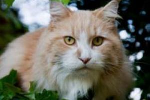 Enfermedad inflamatoria intestinal felina