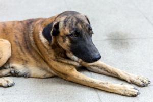 Enfermedad de la piel, autoinmune (pénfigo) en los perros