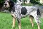 Coonhound de mancha azul