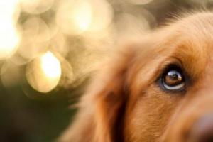 Nistagmo (movimiento involuntario del ojo) en perros: síntomas, causas y tratamientos.