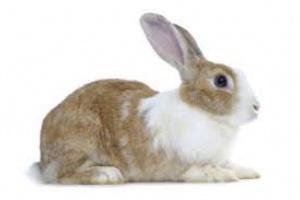 Artritis por infección bacteriana en conejos