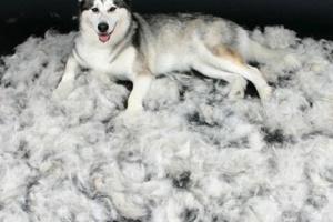 Perros que no se deshacen: Mantenga su casa sin pelos