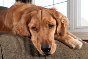 Sobreproducción de glóbulos rojos en perros
