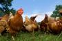 Familias y aves de corral saludables