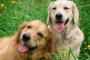 Mi perro comió ibuprofeno: ¿y ahora qué?