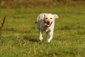 Contraer durante el ejercicio en Labrador Retrievers