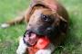 Inflamación de masticar los músculos y los músculos de los ojos en los perros