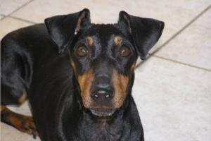 ¿Qué son las orejas botón y qué razas de perros los tienen?