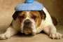 Fluconazol para perros (usos , dosis , efectos secundarios)