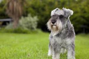 Neumonía debido a la respuesta inmune hiperactiva en perros