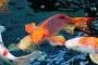 Infecciones bacterianas (Aeromonas) en peces