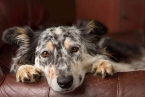 Recuento bajo de plaquetas en perros