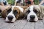 Cómo quitar las manchas de lágrimas de tu perro