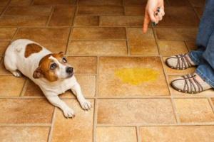 Cómo eliminar el olor de la orina del perro