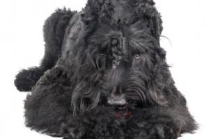 Terrier Ruso Negro