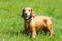 Deficiencia de piruvatocinasa en perros