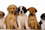 Cómo elegir una raza de perro