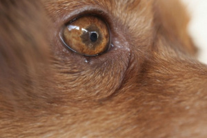 Defectos oculares (congénitos) en perros