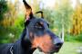 Enfermedad de la piel causada por lamer en perros