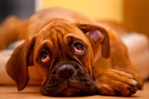 Todo sobre etiquetas de piel en perros (más lipomas y otros bultos)