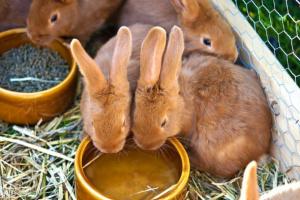 Exceso de orina y exceso de sed en conejos