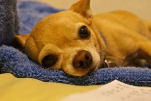 Pérdida de proteína intestinal en perros