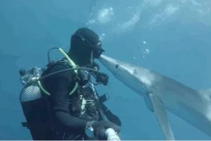 Curioso tiburón nada hasta bucear y hace lo más lindo