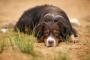 Enfermedad Inflamatoria Intestinal (EII) en Perros