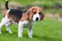 Conoce mas sobre un Beagle