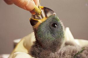 Juzgue la apariencia antes de elegir a su ave bebé