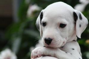 Cómo proteger a su perro o cachorro de los parásitos
