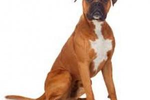 Bloqueo cardíaco (primer grado) en perros