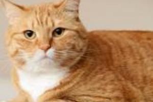 La verdad sobre la comida para gatos sin granos