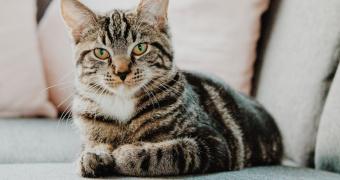 Hipopituitarismo en gatos.