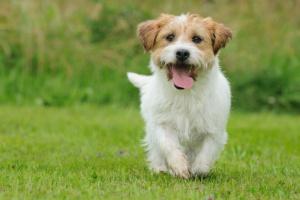 Síntomas del estro después de la esterilización en perros